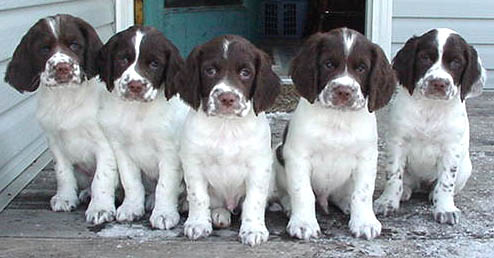Blue Tower Field Bred English Springer Spaniel Puppies
